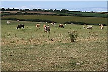 SW8972 : Cattle Grazing by Tony Atkin