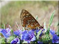 SU1950 : Marsh Fritillary, Euphydryas (Eurodryas) aurinia by Hugh Venables