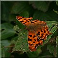 SW7956 : Comma Butterfly by Tony Atkin