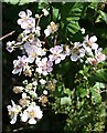 SW7953 : Blackberry Blossom by Tony Atkin