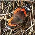SX1458 : Red Admiral Butterfly by Tony Atkin