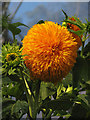 SX0554 : Hybrid Sunflower: Eden Project by Pam Brophy