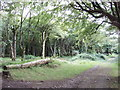 SW9667 : Woods at Trewollack, near Rosenannon by David Hawgood