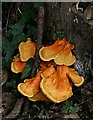 SW9766 : Sulphur Shelf Fungus? by Tony Atkin