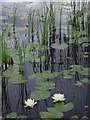 NG7763 : Water lilies and reeds, Lochan Dubh by Hugh Chevallier