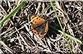 SW9547 : Small Copper Butterfly by Tony Atkin