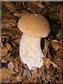SU3306 : Boletus fungus in Denny Wood, New Forest by Jim Champion