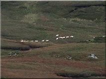 NR6108 : Sheep on Beinn Bhreac. by Steve Partridge