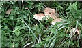 SP7715 : Macrolepiota  in the wayside by Rob Farrow
