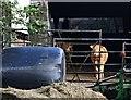 SX3968 : Cattle in the Farmyard by Tony Atkin