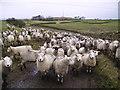 SD5786 : Sheep by Michael Graham