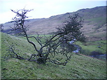 NY5305 : Hawthorn, High House Bank by Michael Graham