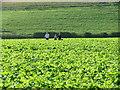 SU8396 : Footpath through the turnip fields by Peter Jemmett
