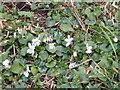 SO4618 : Sweet white violet by Jonathan Billinger