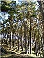 NS9321 : Pine Covered Hillside Near Crawford by Iain Thompson
