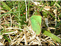 SK0265 : Green Hairstreak by Dave Dunford