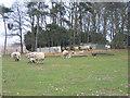 TF8330 : Ewes and  lambs, Highfield House near Tattersett by Nigel Jones