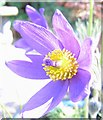 TL0826 : The Pasque Flower by John Yaxley