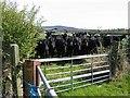 SJ4455 : Cattle near Highfield Lodge by John S Turner