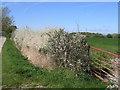 SJ4455 : Blackthorn Blossom on Highfield Lane by John S Turner