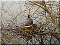 SX8374 : Coot on nest, Stover Lake by David Hawgood