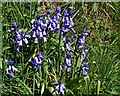 SX3274 : Bluebells on the Verge by Tony Atkin