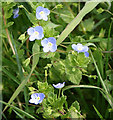 TF0301 : Common field speedwell, Veronica persica by Kate Jewell