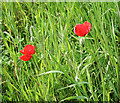 TF0401 : Early poppies in the field margin by Kate Jewell