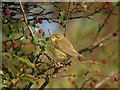 TA4115 : Willow Warbler (Phylloscopus trochilus) by Hugh Venables