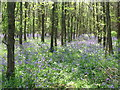 SP6439 : Bluebells in Whitfield Wood by Alan Kent