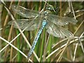 SU2815 : Emperor Dragonfly  (Anax imperator) by Hugh Venables