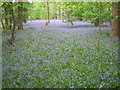 TL0035 : Bluebells in Steppingley Copse by ian saunders