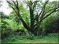 SM9832 : Wesley's oak tree by ceridwen