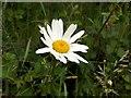 SE3008 : Ox-eye Daisy (Leucanthemun vulgare) by John Fielding