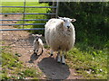 SD1098 : Mother & lamb by N Chadwick