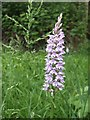TQ6217 : Common Spotted Orchid (Dactylorhiza fuchsii) by Jonathan Billinger