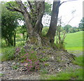 SN0719 : Tree on outcrop by Roger W Haworth
