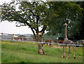 SJ8961 : Giraffe, alpacas and lioness by Neil Lewin