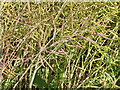 SP9844 : Ripe oilseed rape pods by David Hawgood