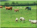 ST6165 : Sheep, cattle and a horse in a field near Blackrock by Brian Robert Marshall