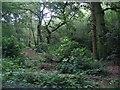 SJ8069 : Big Wood by David C Brown