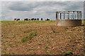 SO5826 : Cattle grazing by Pauline E