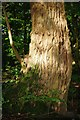 SJ9150 : The Rough Bark of the Black Poplar Tree by Debbie Turner