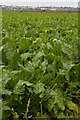 TL4476 : Sugar beet in North Fen, Haddenham by Ben Harris