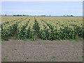 TL3292 : Maize crop beside the B1093 Benwick Road, Whittlesey by Rodney Burton