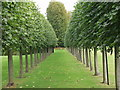 SJ3248 : Espalier trained plane trees in Erddig House gardens by John Haynes