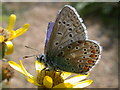 TL4661 : Common Blue butterfly (Polyommatus icarus ) by Keith Edkins