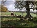 SX2892 : Cattle at Youngcott by Derek Harper