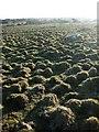 SX2279 : Grass tussocks, East Moor by Derek Harper