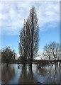 SO5924 : Winter poplars : Week 2